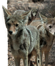 Coyotes They Are Here To Stay In Pinellas County